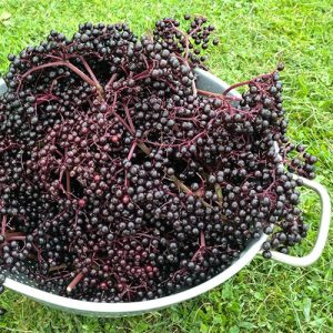 Elderberries - natures bounty